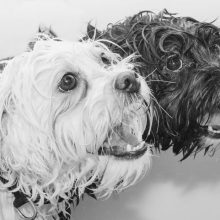 Ironi Schleder Pet Photographer based in Washington DC- US at an affordable price.