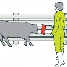 How Cattle Are Controlled Using Electric Current