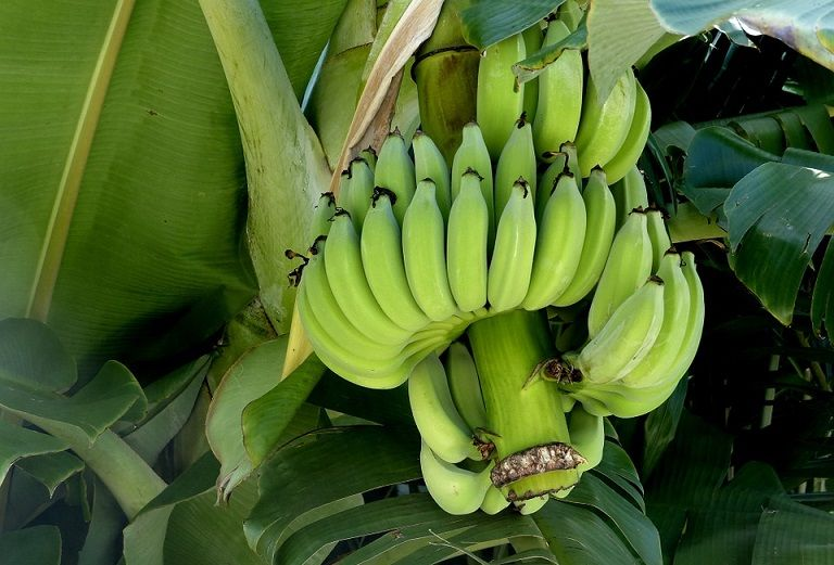 Raw banana: a diabetic-friendly food, know other benefits